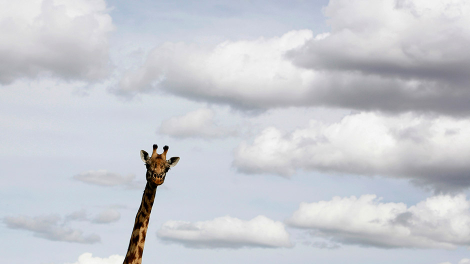 A giraffe is seen in Masai Mara game reserve October 20, 2007.