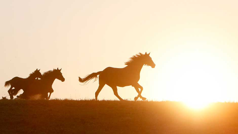 Horses run at The Karacabey Pension Stud farm in the western Turkish town of Karacabey August 18, 2009.