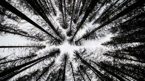 A spruce forest attacked by engrave beetles (Scolytidae) is seen at the Czech Republic's Sumava National Park, June 4, 2011.