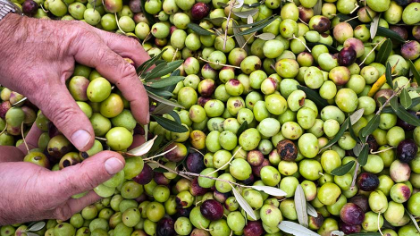 Olives are seen during harvest season in the fishermans village of Sumartin on the Adriatic island of Brac, October 22, 2011.