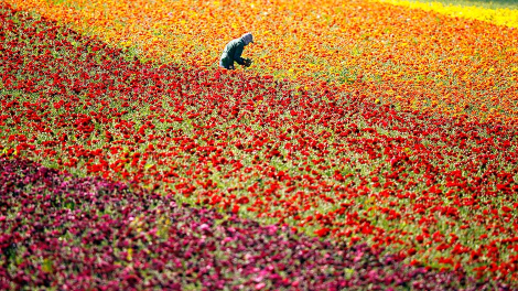 A worker picks giant tecolote ranunculus flowers by hand at the Flower Fields in Carlsbad, California March 27, 2012.